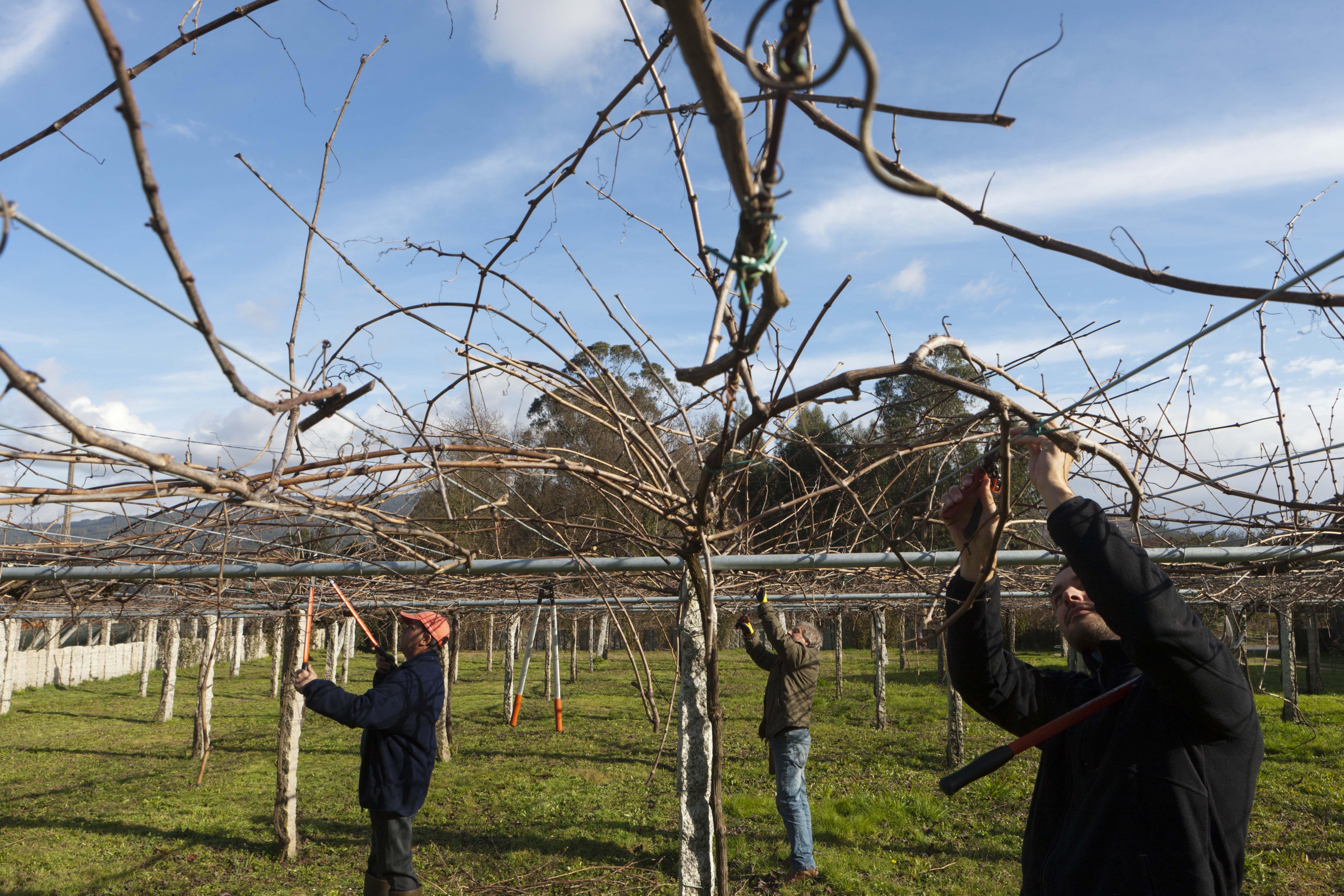 la poda es una labor fundamental para obtener una uva de